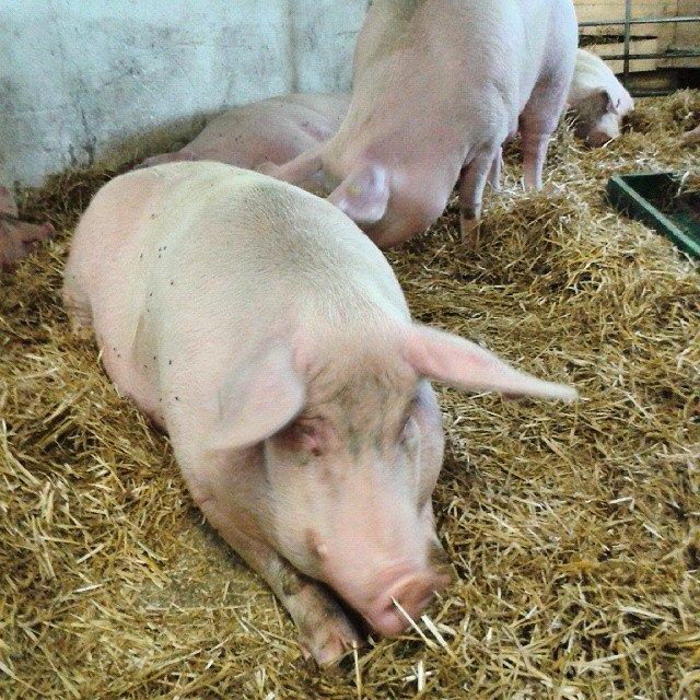 Schwein auf Gut Aiderbichl