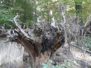 Baumwurzeln auf Walderlebnispfad Freising